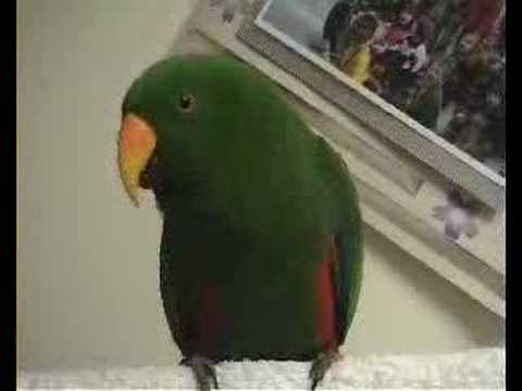 Riley the Talking Pet Eclectus Parrot | ScienceBlogs