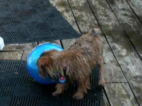 Norfolk Terrier Swims for the first time