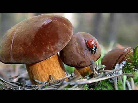 Польский гриб podgrzybek brunatny 05.11.2016