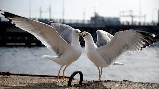 Food fight of seagulls