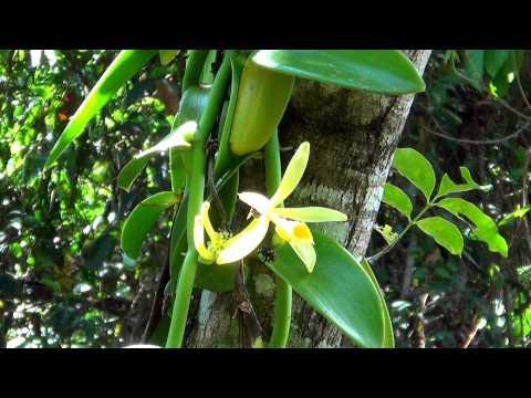 Orchid vanilla,  Vanilla planifolia, pollinating bees,  Brazilian flora,