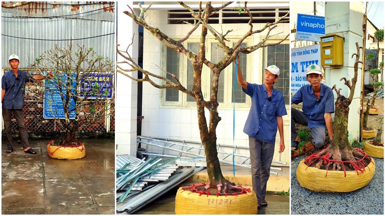 MAI TỨ QUÝ, MAI VÀNG, NGUYỆT QUẾ VÀ KHẾ ngày 21/9/2020  😍 0936 767 771 A SANG 😍 bonsai can tho