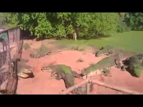 Crocodile rips off another crocodiles arm off- crazy scene