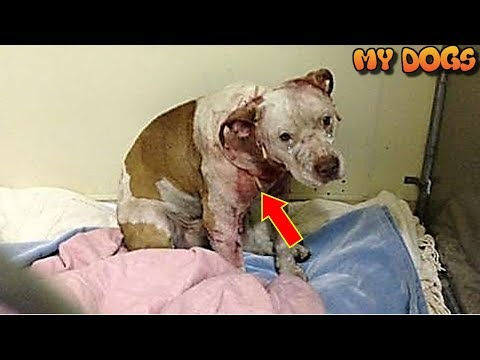 Rescue an Abandoned Bait Dog Used For Dogfighting Finds Loving New Family