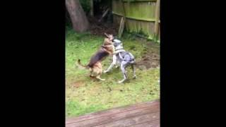 Great Dane Vs German Shepherd