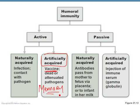 Chapter 21- Immune System Part 2