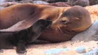 Steller Sea Lion By Angela