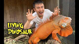 Handle Iguana 2 meter, Real Live Dinosaur