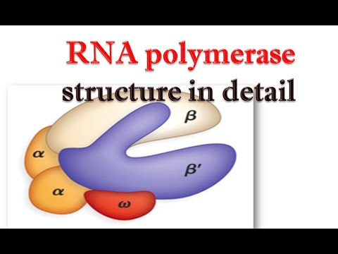 RNA polymerase structure in detail