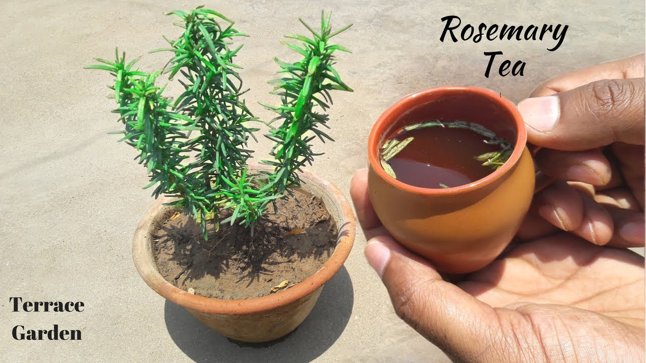 how to grow rosemary site youtube.com
