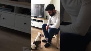 Yavru pitbull eğitim vol2