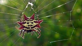 Самые невероятные и необычные пауки!