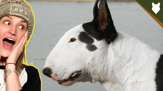 BREED 101 BULL TERRIER! Everything You Need To Know About The BULL TERRIER!