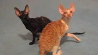 Котята корниш рекс. Мальчик и девочка. Продаются
