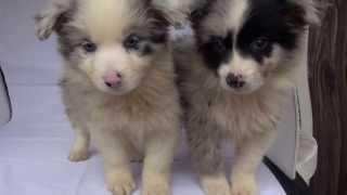 ボーダーコリーの子犬です。 ブリーダー 茨城県 子犬の詳細は → http://...