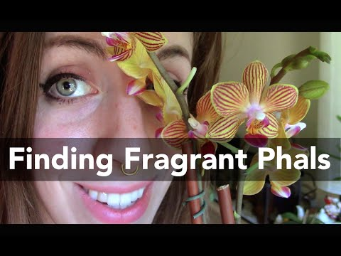 Tips for finding ✿FRAGRANT Phalaenopsis Orchids✿ in the store!
