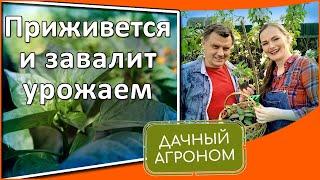 Эта ошибка лишает урожая! Первые подкормки рассады после высадки в грунт