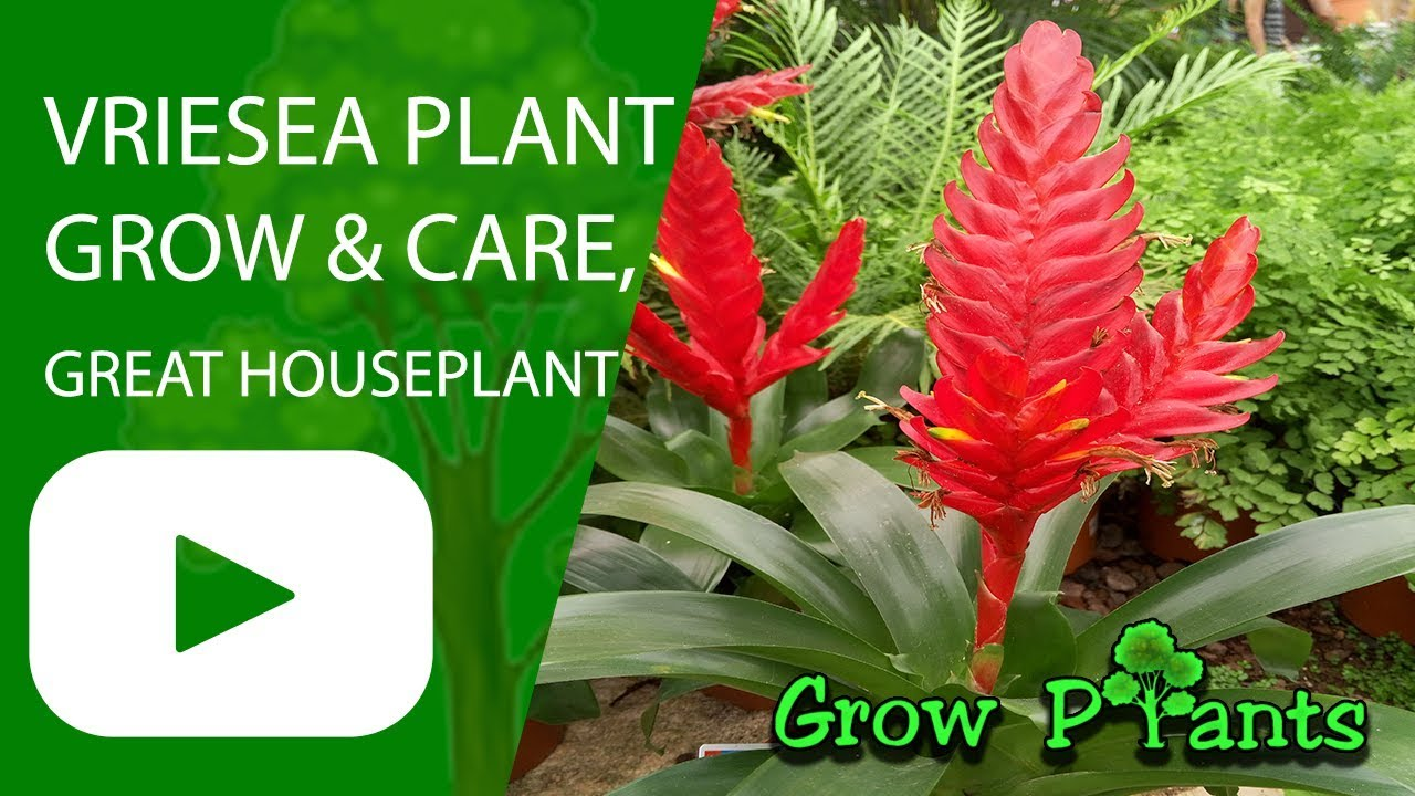 Vriesea Grow Care Great Houseplant Youtube