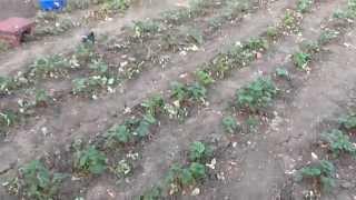 Осенняя обработка клубники.  Уход за клубникой осенью. Клубника(Осень когда спадет жара, нужно убрать часть листьев и траву. Сделать полив., 2015-09-10T18:32:37.000Z)