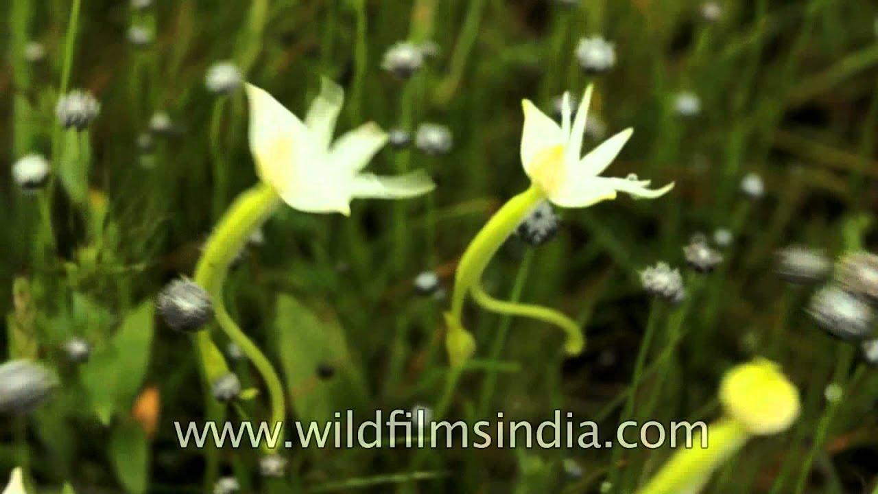 Beautiful Rare Flowers Successfully Grow In Kaas Plateau