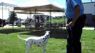 Dalmation Fire Dog Dottie