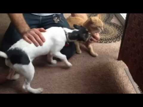 Cat meets Jack Russell Terrier Dog
