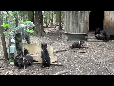 Baby Bears getting food