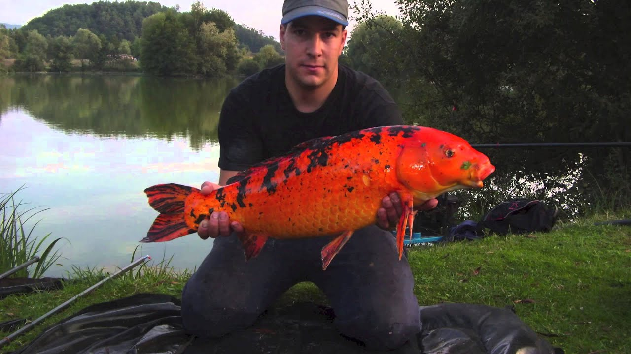 Peche a la carpe au coup magnifique koi youtube for Tarif carpe koi