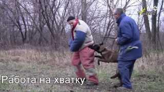 Дрессировка собак, кусание спокойного фигуранта