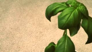 Sweet Basil Plant-Tips & Tricks