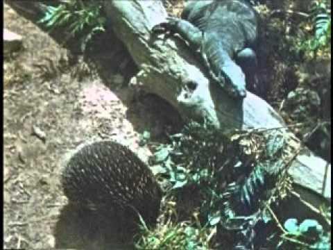 wildlife in bushland fully restored color 1942 nature film