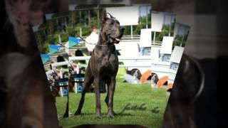 Great Danes Puppies