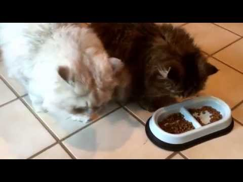 Royal Canin Persian Kitten Food Review -