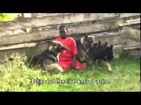 Chiot De Race A Vendre Bergers Allemands Youtube