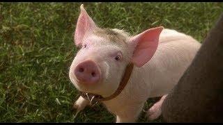 Фильм Бэйб: Четвероногий малыш за минуту