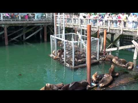 Sea Lions Newport Oregon Harbor