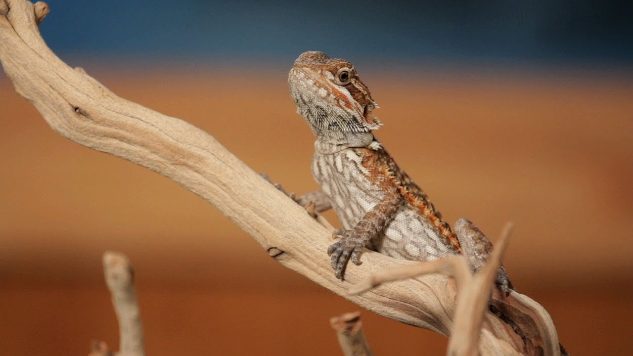 7 Cool Facts about Bearded Dragons | Pet Reptiles - YouTube