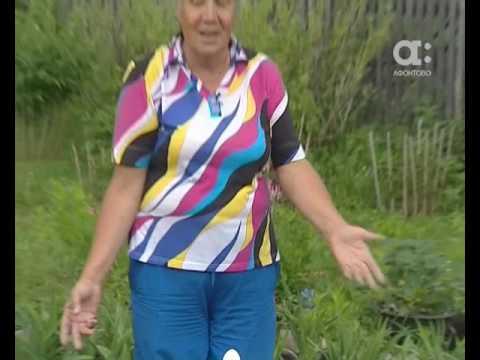 Голова садовая. Как с помощью скорлупы защитить капусту от бабочки-капустницы