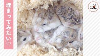 みんなでいれば寒くない! 身を寄せ合って眠るハムたちに癒される♡【PECO TV】 thumbnail