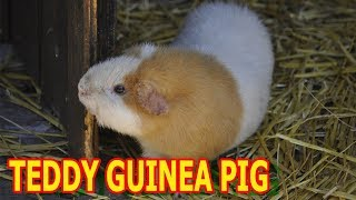 Teddy Guinea Pig: Do You Like This Breed? [morninghomestead.com]