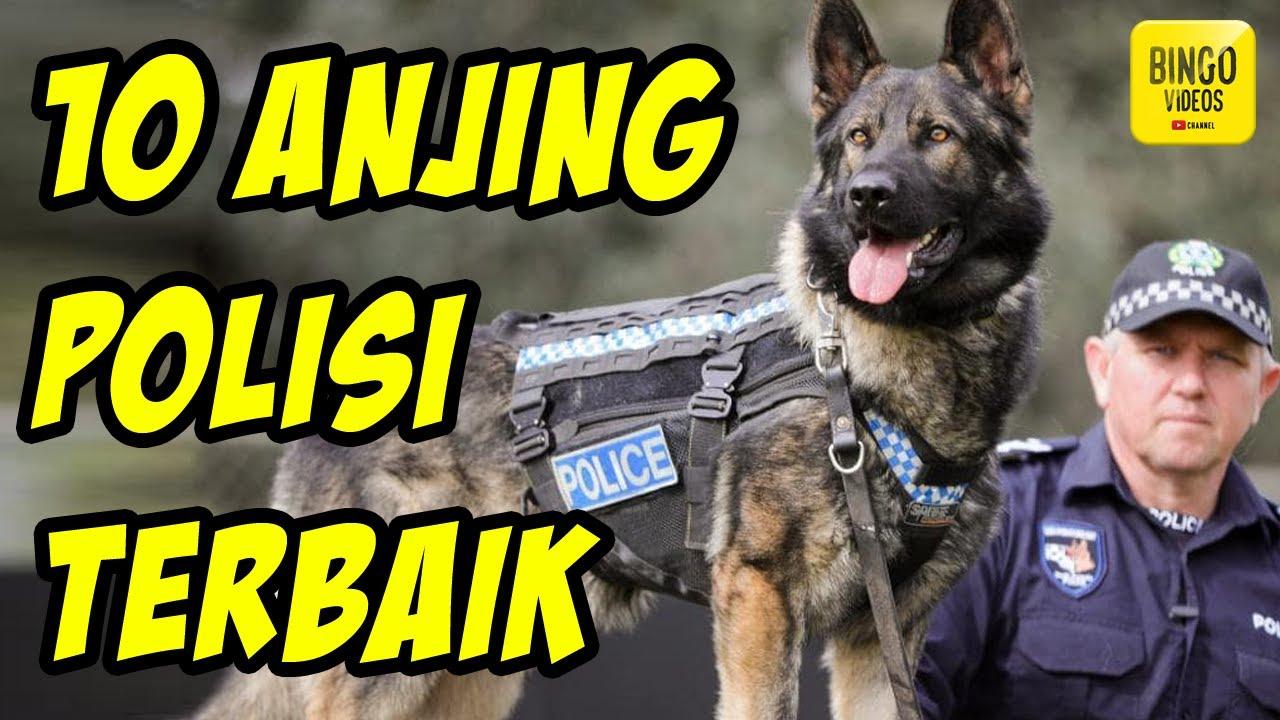 Belgian Malinois Vs Gembala Jerman Anjing Gembala Jerman 2020