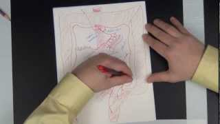 Gross anatomy of the vessels of the Abdomen - drawing the abdominal vessels