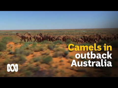 Outback Camels: Culls And Carcasses Or Milk And Meat? 🐪 | Meet The Ferals Ep 8 | ABC Australia
