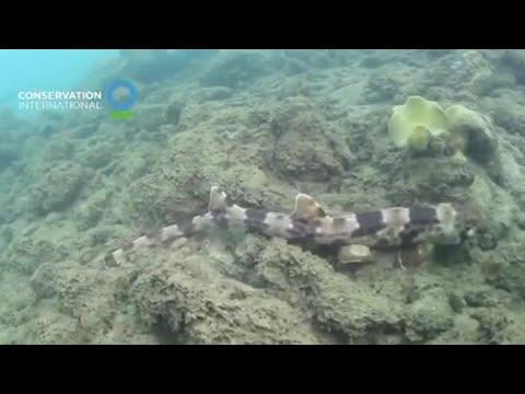 Descubren cuatro nuevas especies de tiburones que caminan sobre sus aletas