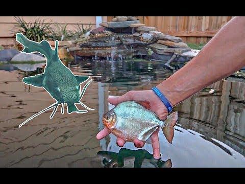 New piranha fish species added to the pond underwater for Garden pond fish species