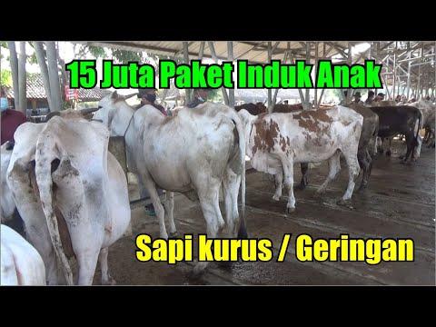 Review Sapi Kurus / Geringan Termurah Di Pasar Hewan Siyono Gunungkidul