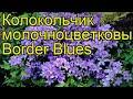 Колокольчик молочноцветковый Бордер Блюз. Краткий обзор, описание campanula lactiflora Border Blues