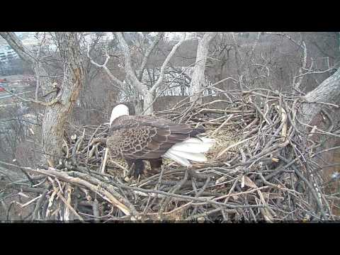 EAGLE CAM 2017 - FULL Eagles Mating Courtship Ritual - ECC, MPDC