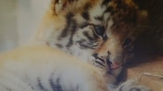 Fluffy tiger cubs play in their den in Colombia