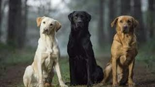 Dog Facts : All Colors of Labrador